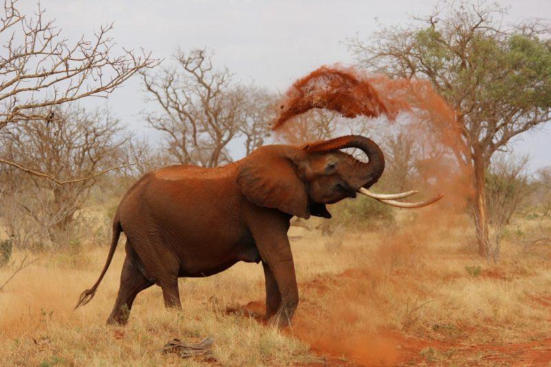 Kenia-elephant
